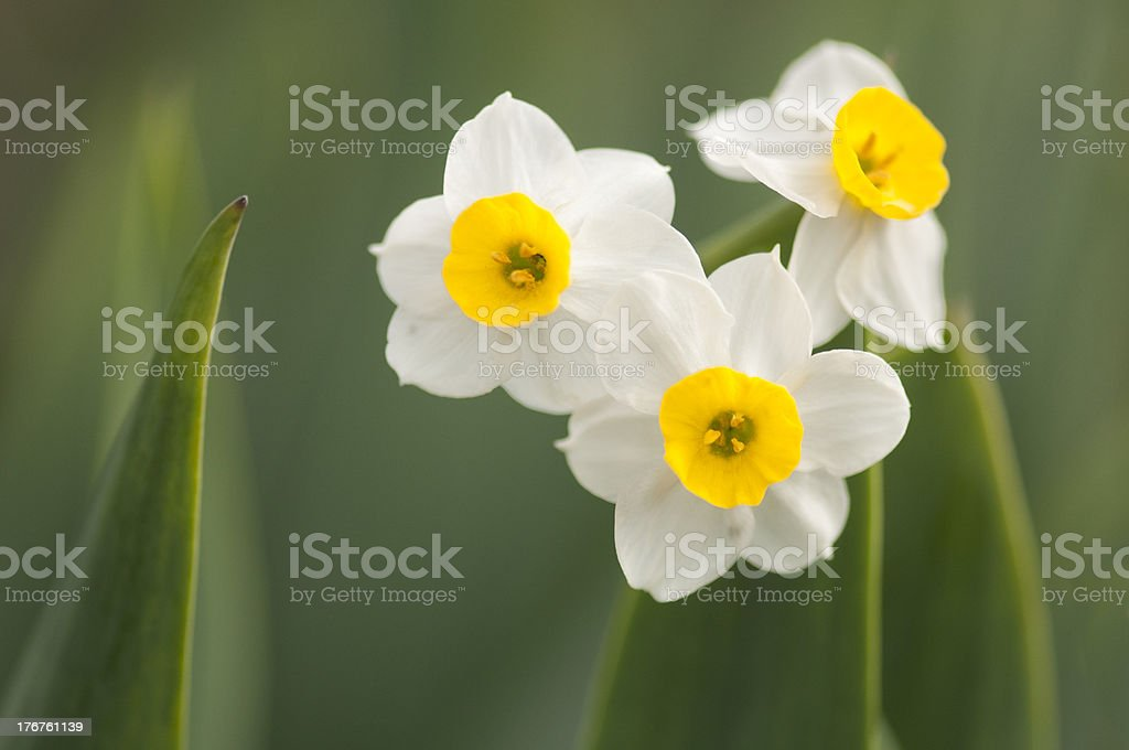 Winter Narcissus stock photo
