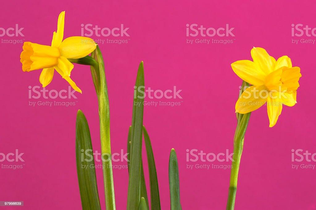 winter narcissus stock photo