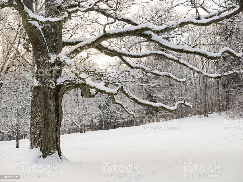 Winter Oak stock photo