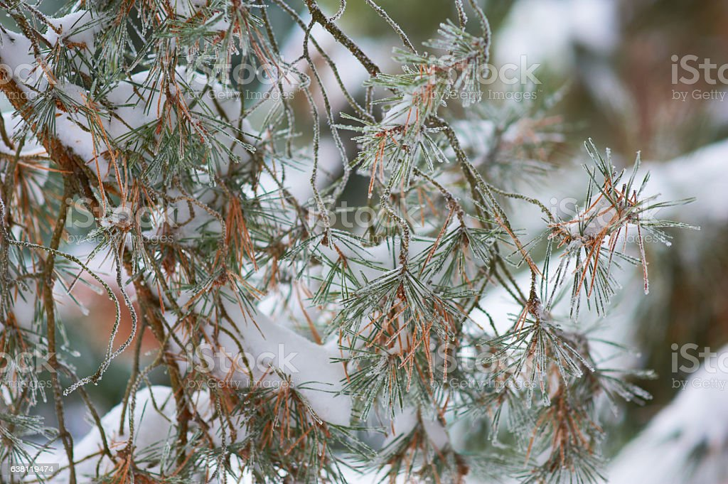 winter pine branch stock photo