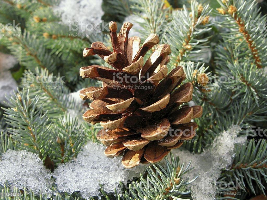 Winter Pine Cone royalty-free stock photo