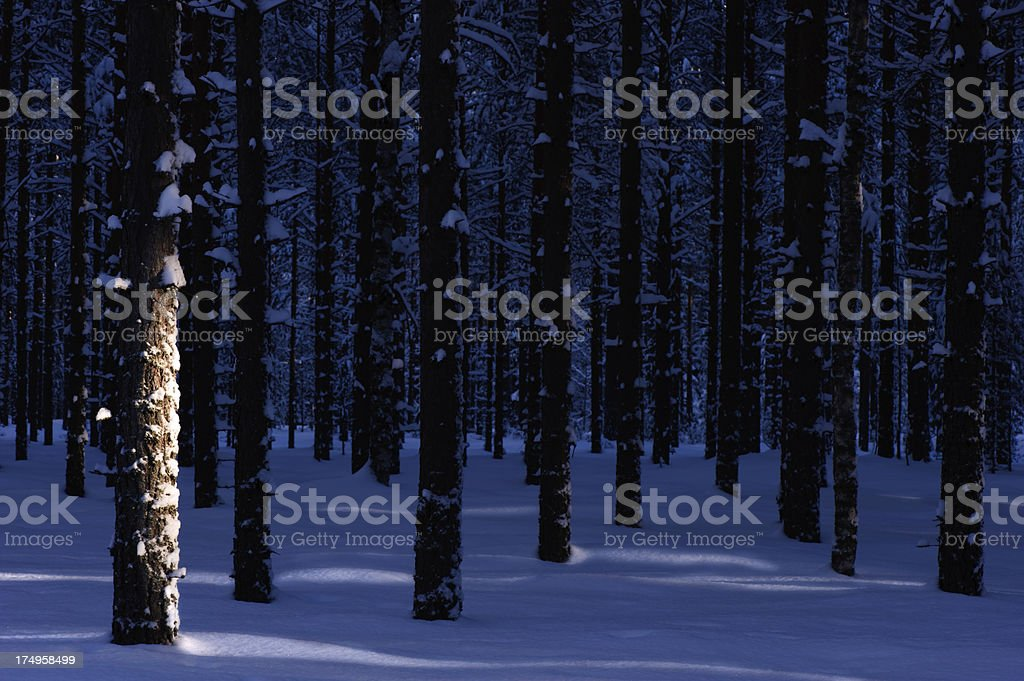 Winter Pine Forest royalty-free stock photo