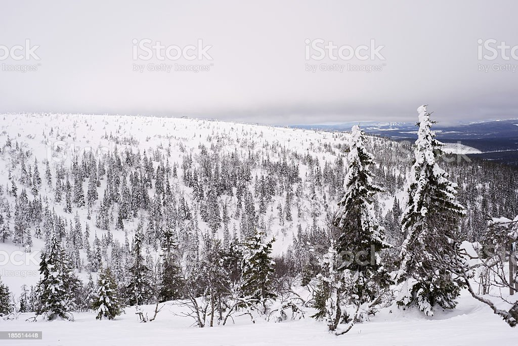 Winter pine landscape in Sweden royalty-free stock photo