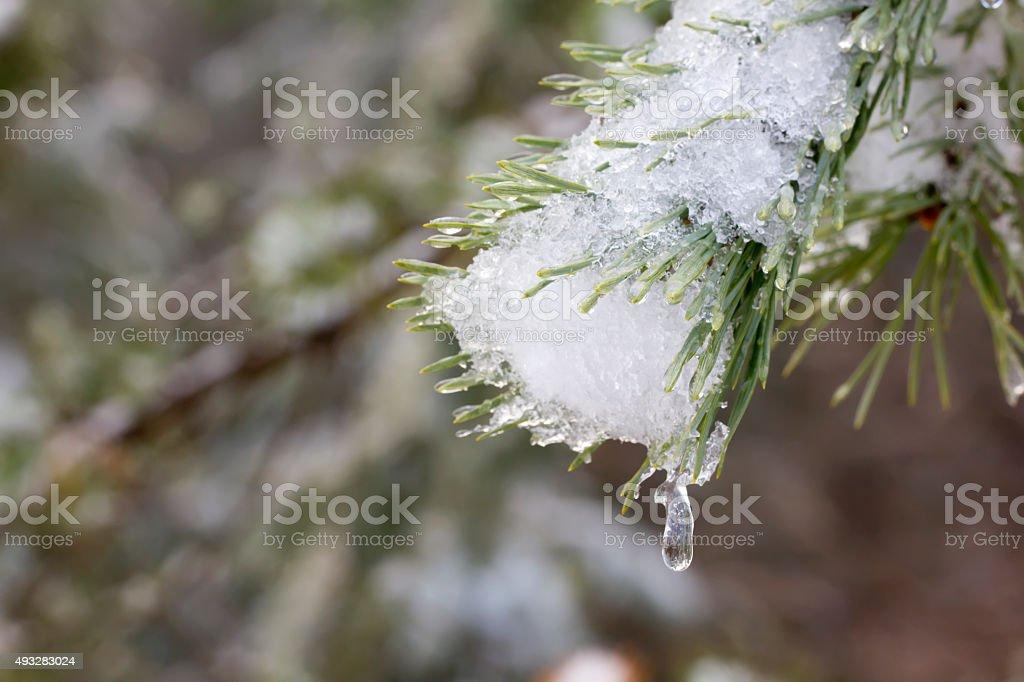Winter. Pine. Snow. stock photo
