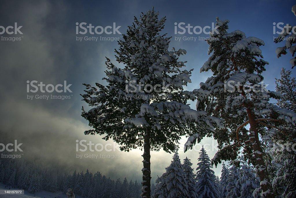 Winter pine tree stock photo