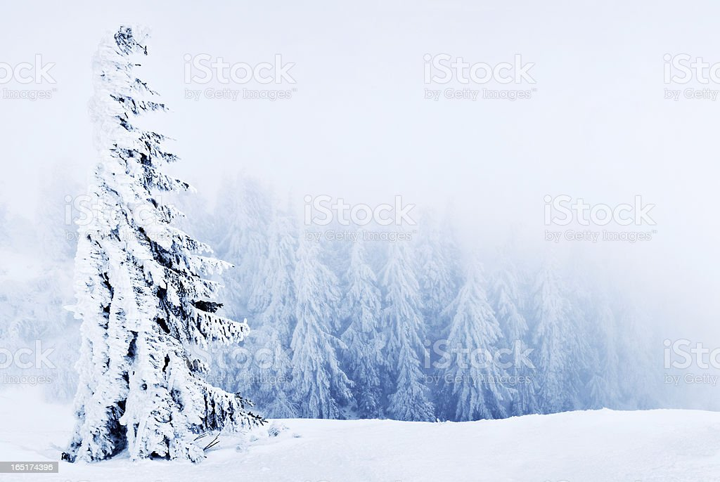 Winter pine tree royalty-free stock photo