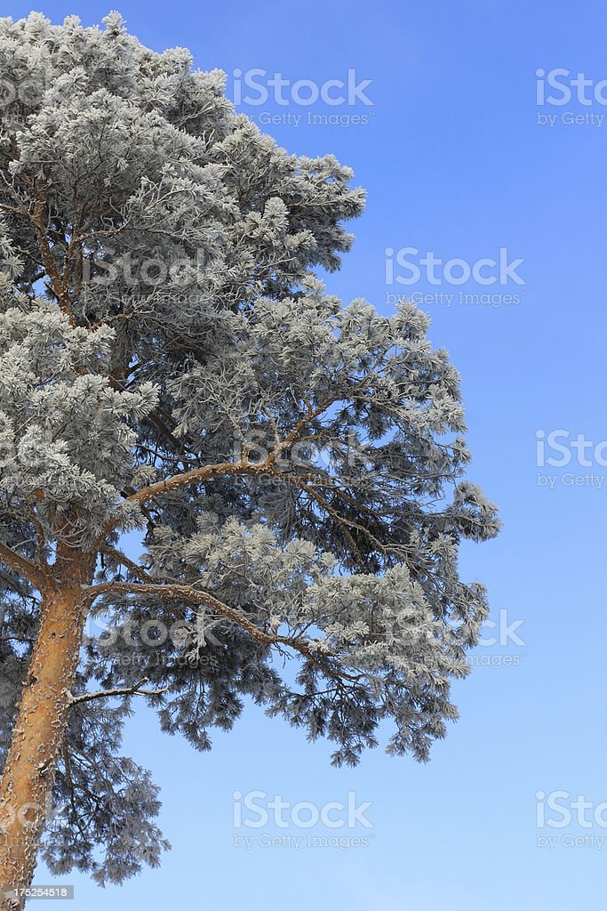 Winter pine tree royalty-free stock photo