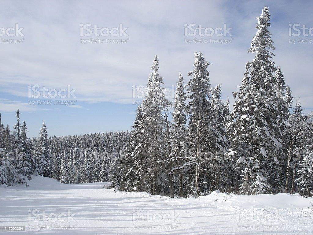 winter pine trees on ski slopes stock photo