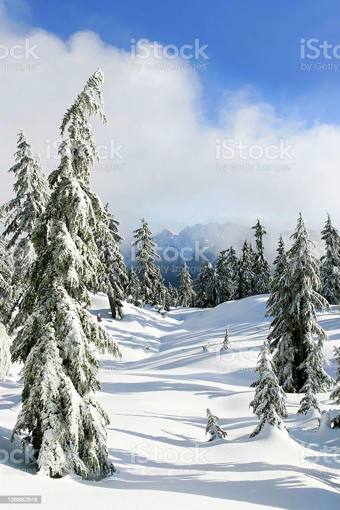 XL winter pine trees stock photo
