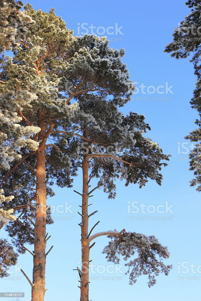 Winter pine trees royalty-free stock photo