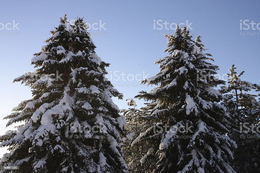 Winter  Pine Trees royalty-free stock photo