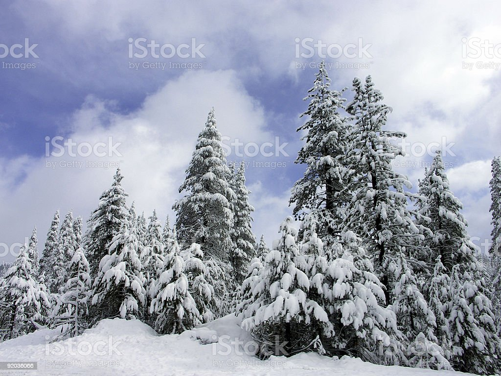 Winter Pines royalty-free stock photo