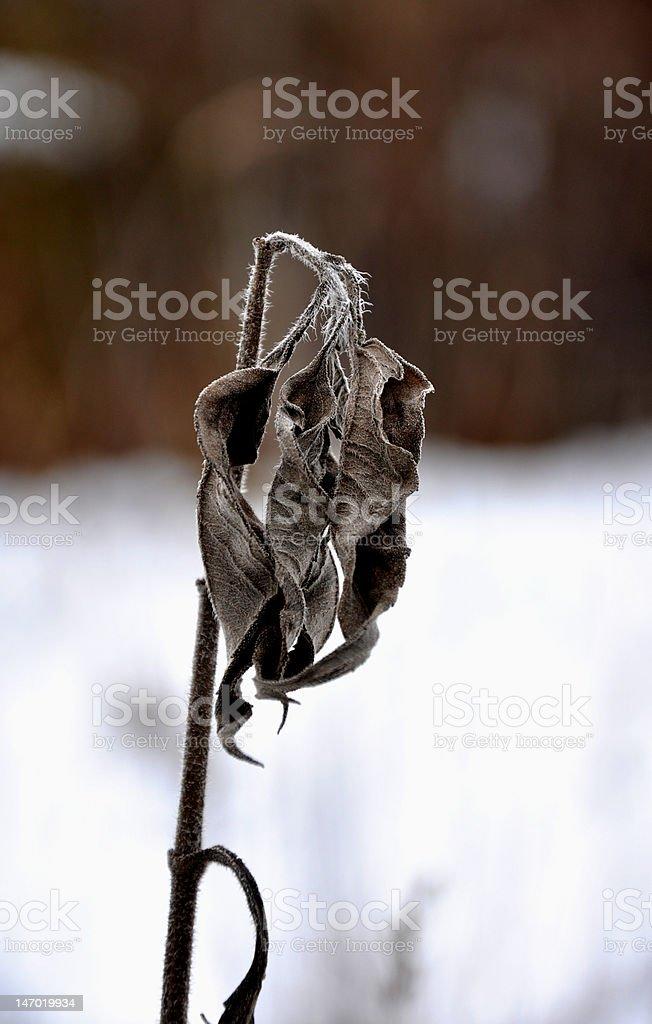 Winter plant royalty-free stock photo