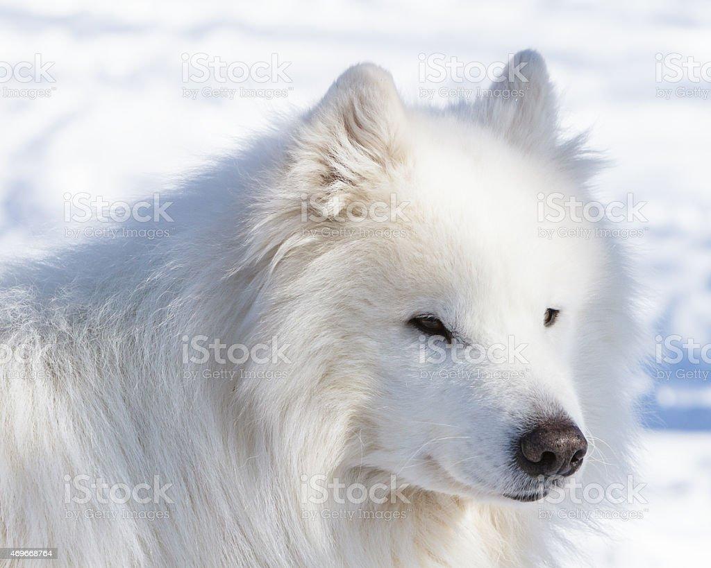 Winter portrait of a white dog of the Samoyed stock photo
