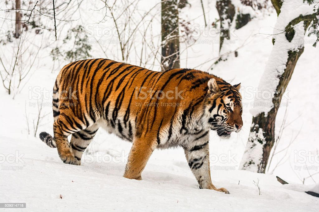 Winter portrait of slowly walking tiger stock photo