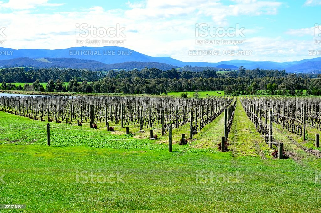 Winter Pruned Vineyard stock photo