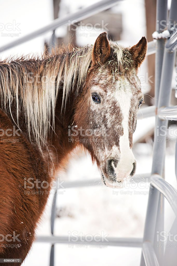 Winter Ranch Horse in Paddock stock photo