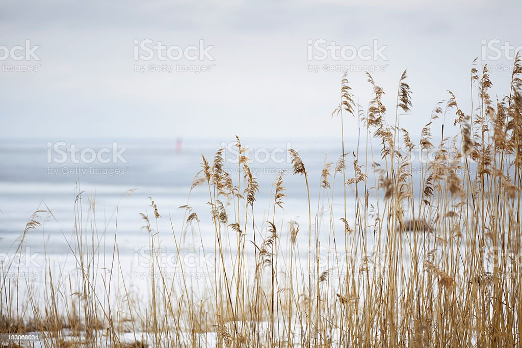 Winter reeds royalty-free stock photo