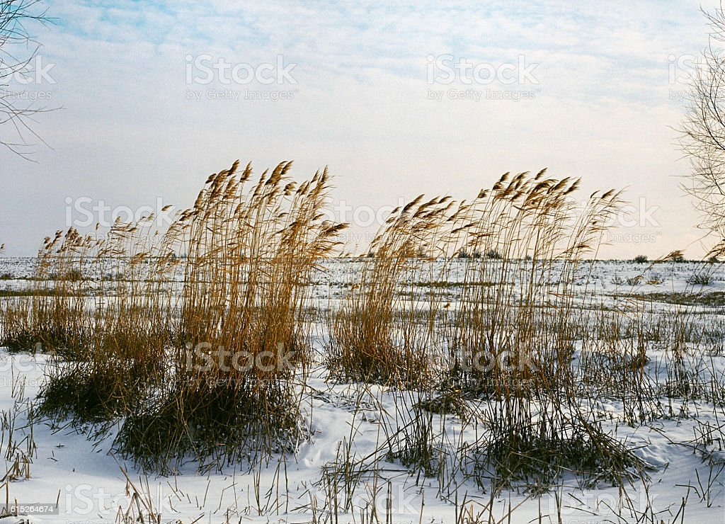 Winter, reeds , steppe. Winter in the Astrakhan region, Russia stock photo