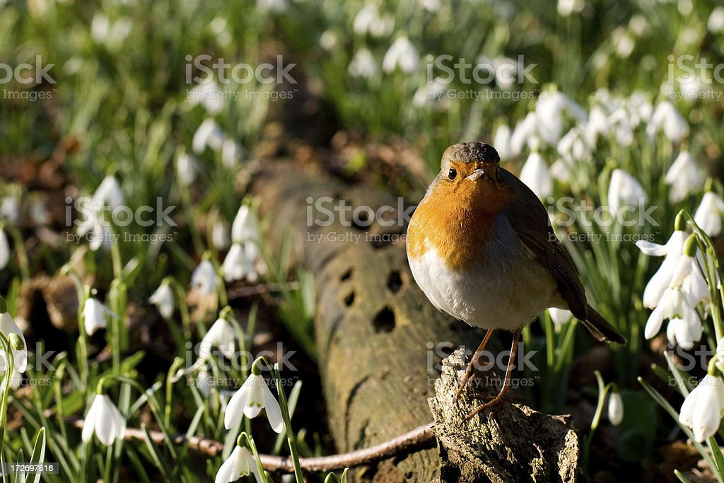 Winter robin amongst some snowdrops stock photo