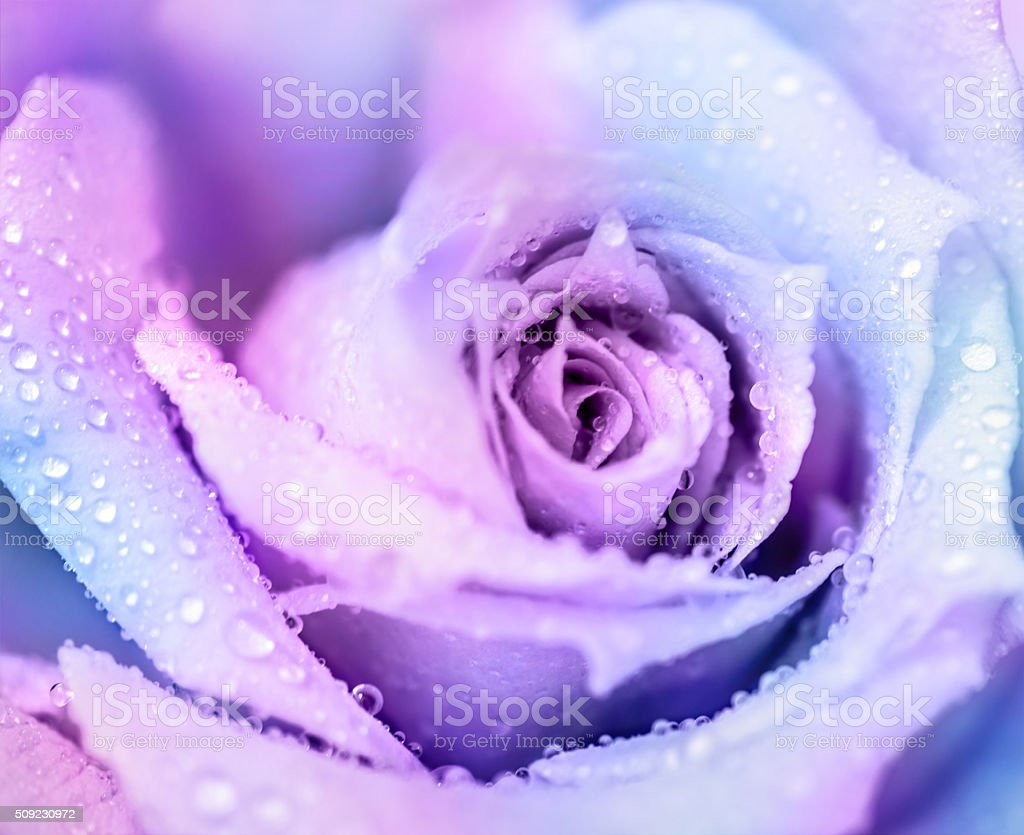 Winter rose background stock photo