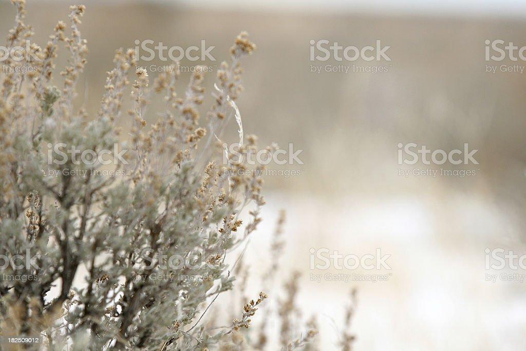 Winter Sagebrush stock photo