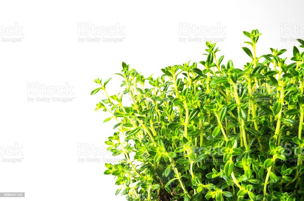winter savory (Satureja montana) stock photo
