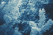 Winter scene - Frosted pine branches. Winter in the woods