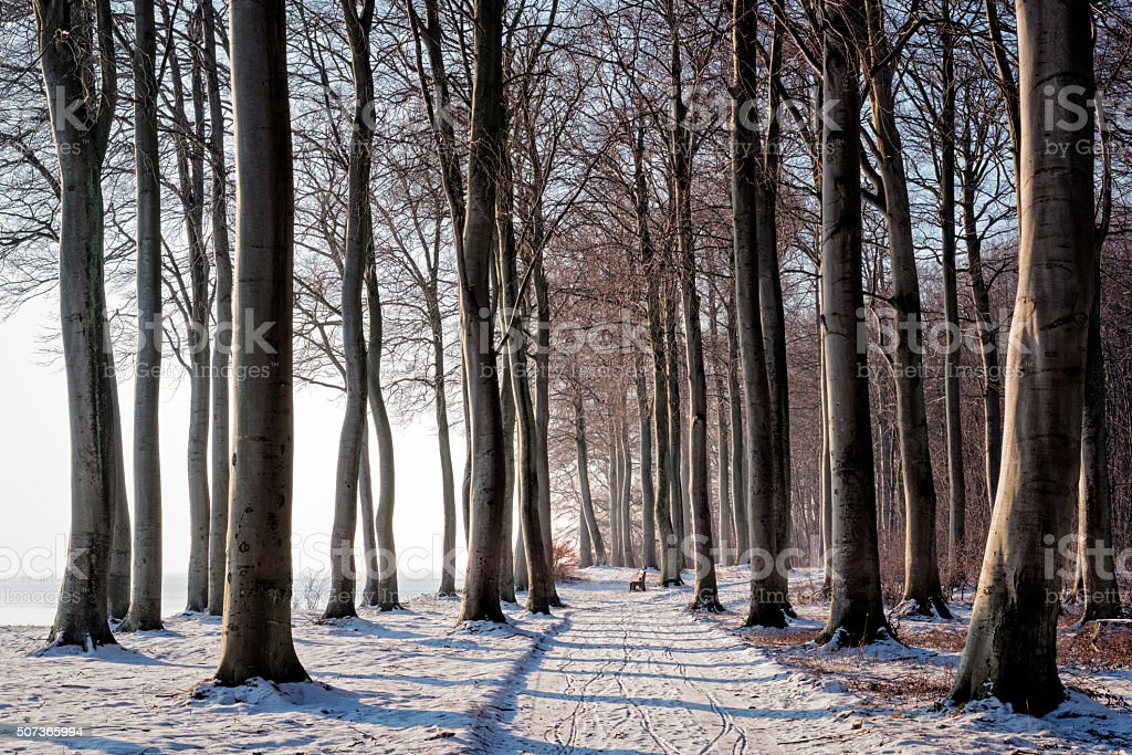 Winter Scene in Fanefjord Woods in Denmark stock photo