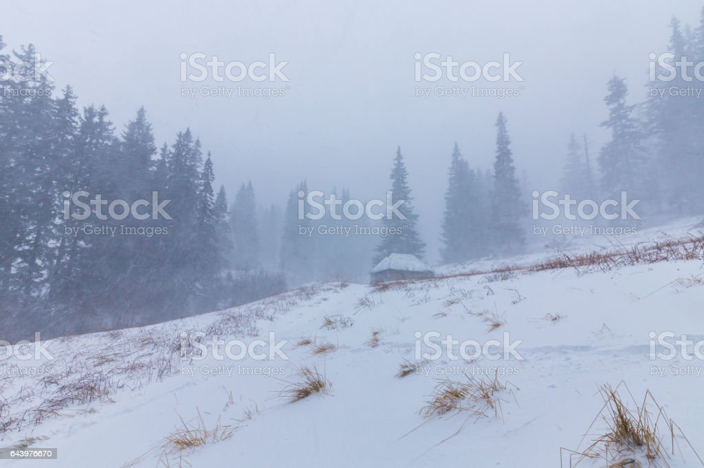 Winter scenery with fir trees in snow blizzard stock photo