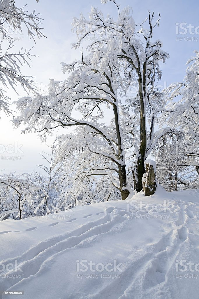 Winter scenics with snow-covered tree and footprints in snow (XXL) royalty-free stock photo