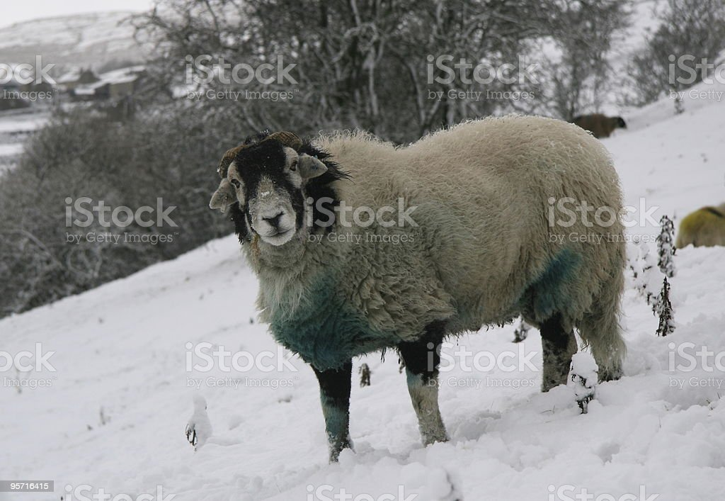 Winter Sheep stock photo