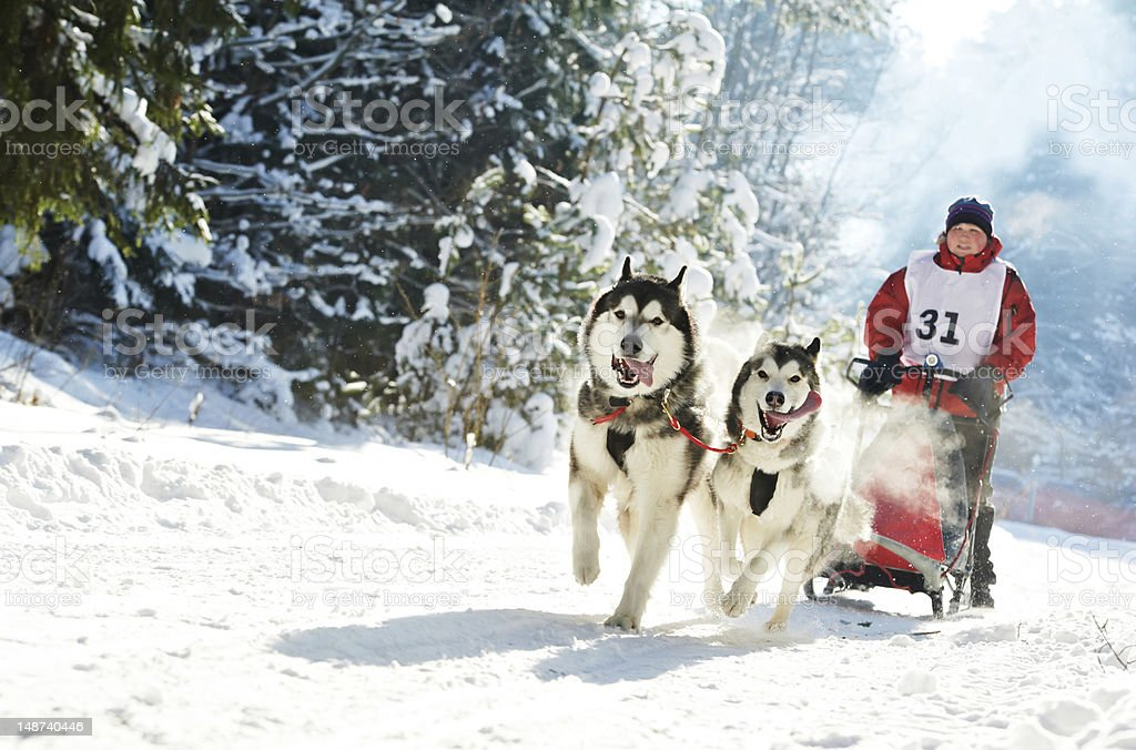 Winter Sled dog racing musher and Siberian husky royalty-free stock photo