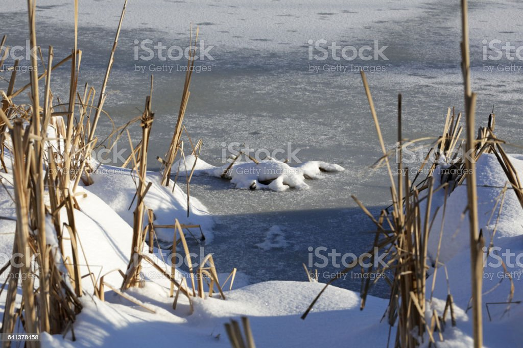 Winter Snow and Bullrushes, Frozen Lake in British Columbia, Canada stock photo