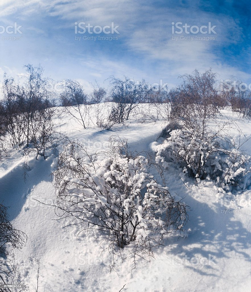 Winter, snow, field, camel thorn. Astrakhan region, Russia stock photo