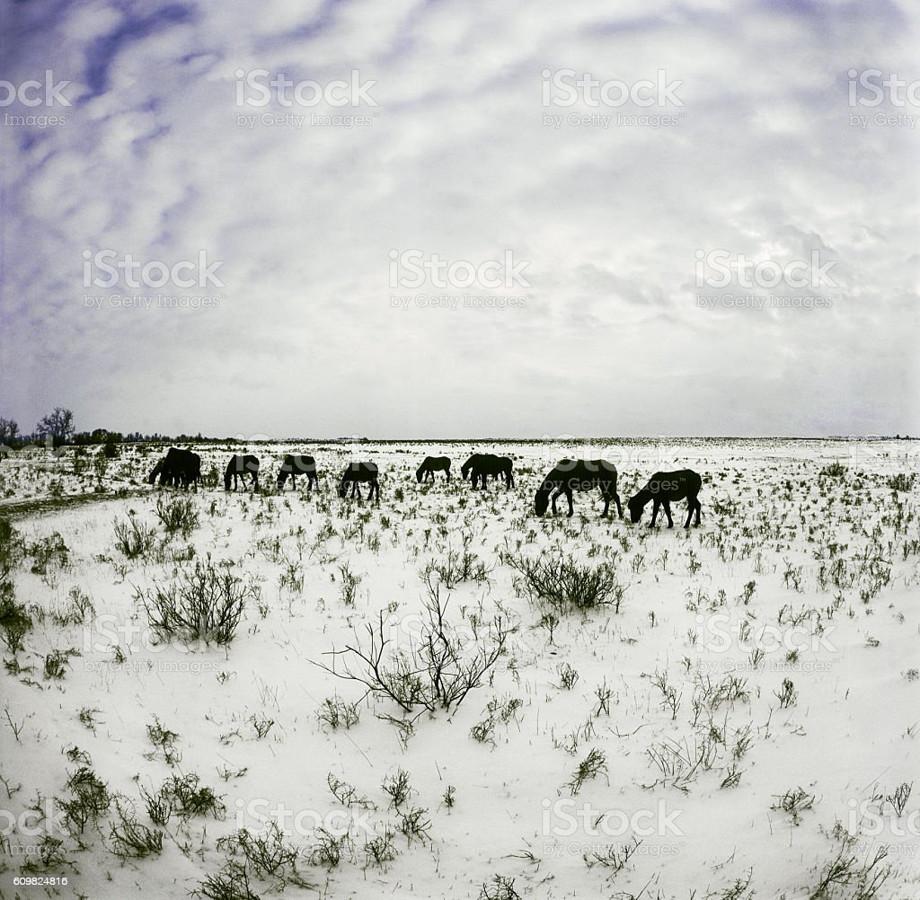 Winter, snow, horses grazing in a field. Astrakhan region, Russia stock photo