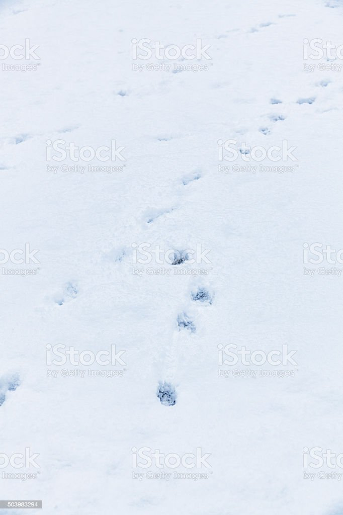 Winter Snow Running Dog Paw Print Tracks stock photo
