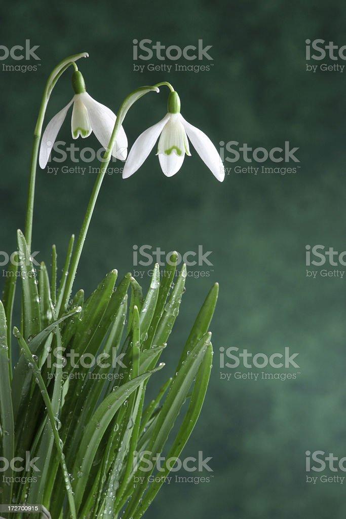 Winter Snowdrops stock photo
