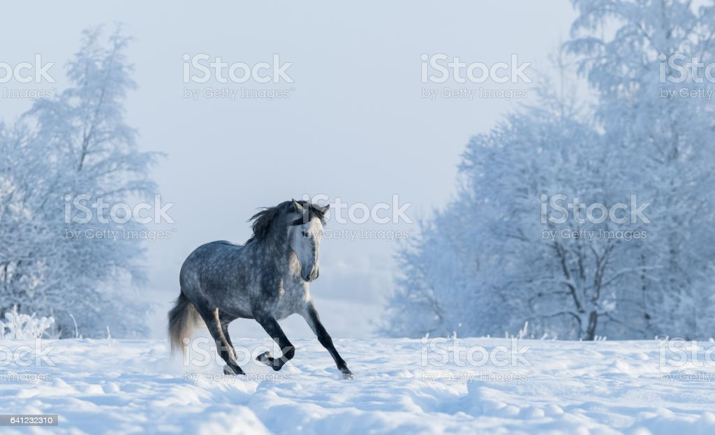 Winter snowy landscape. Galloping grey Spanish horse stock photo