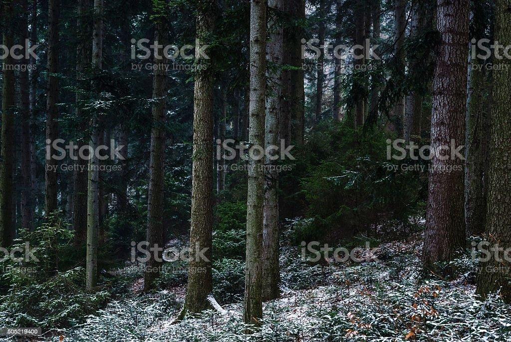 スプルース森林の冬 ロイヤリティフリーストックフォト