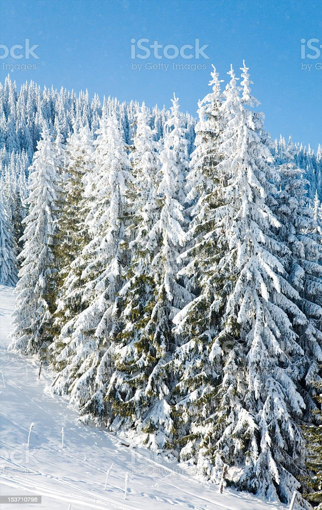 winter spruce trees royalty-free stock photo