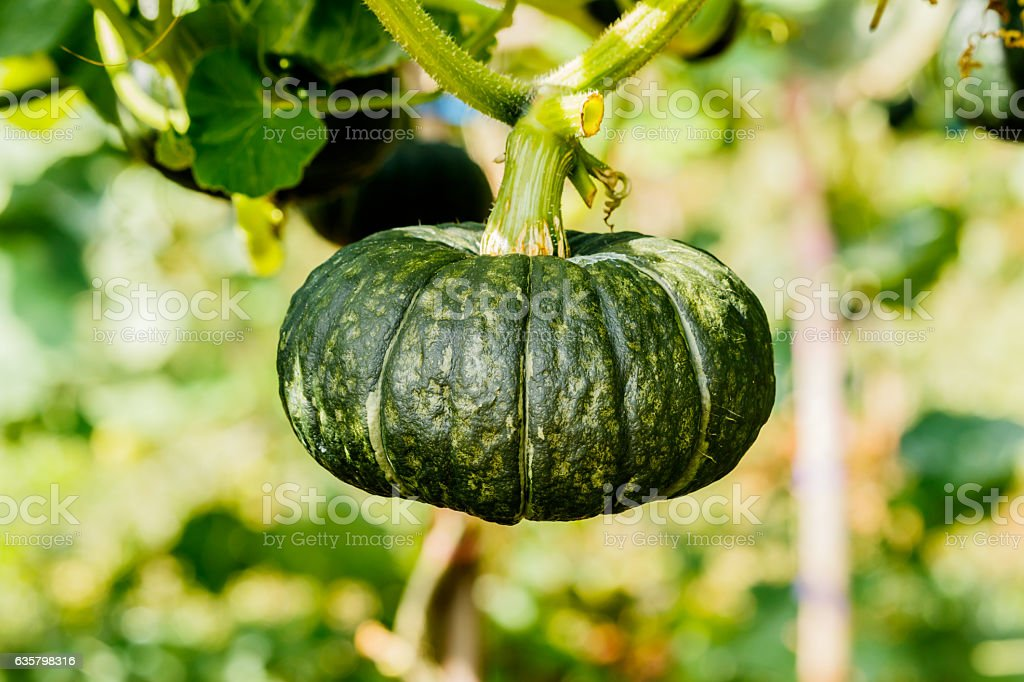 Winter squash, or Pumpkin on its tree stock photo