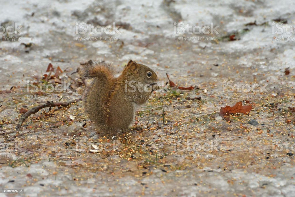 Winter Squirrel (eating seed on the ground below the bird feeder) stock photo