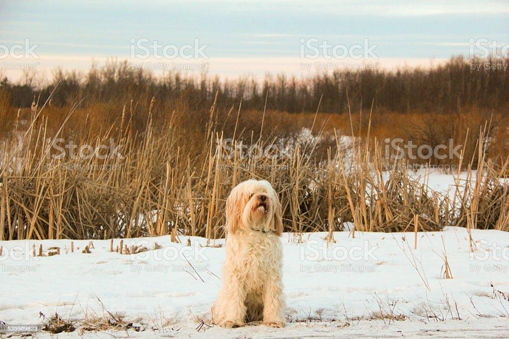 winter sunet with a tibetian terrier stock photo