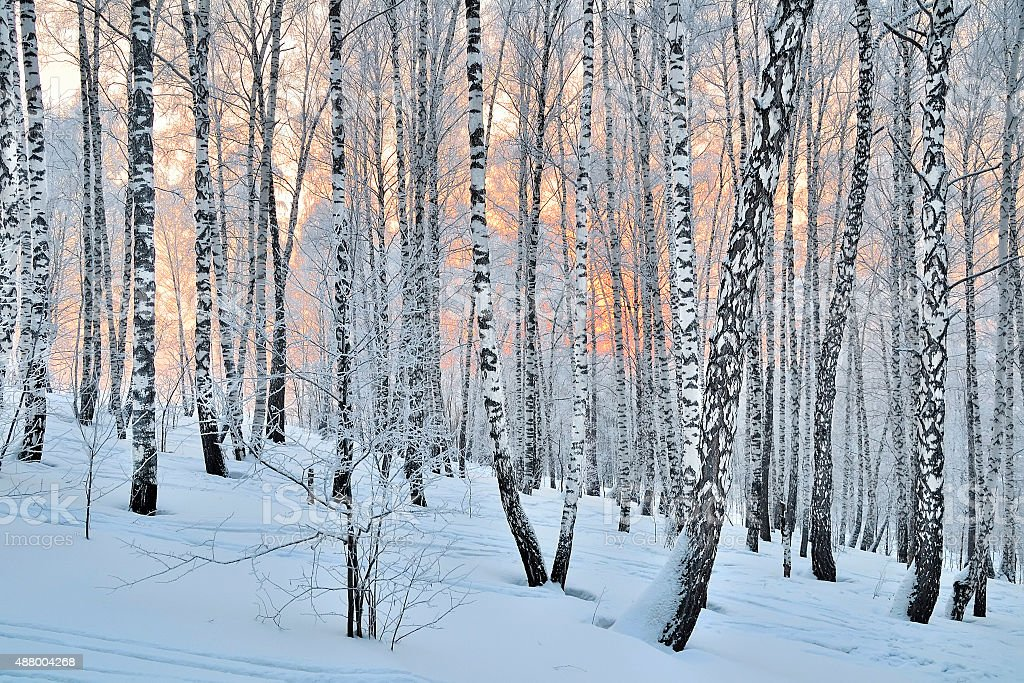 Winter Sunset in birch forest stock photo