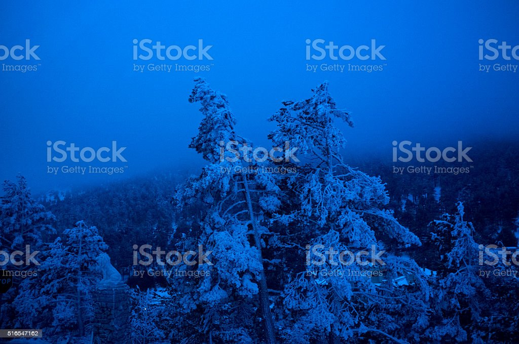 Winter surreal image in blue tones. Pines covered by snow stock photo