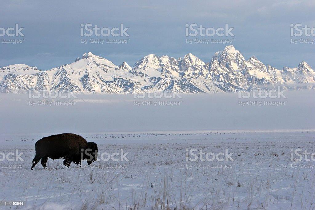 winter teton range with bison stock photo