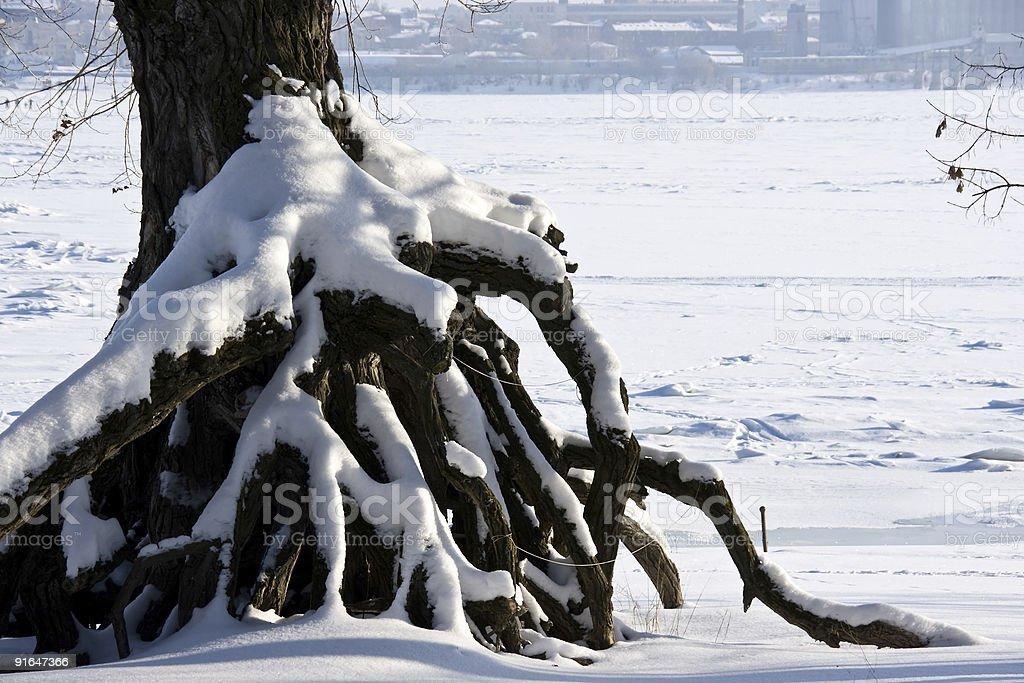 Winter tree roots royalty-free stock photo