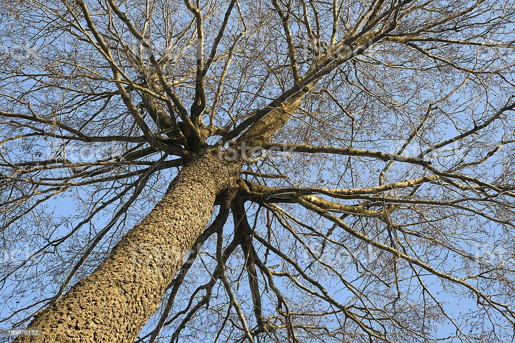 Winter tree, view from below royalty-free stock photo