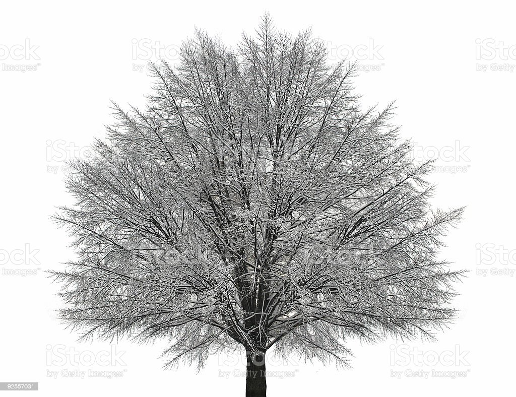 A winter tree with lots of branches and a white background royalty-free stock photo
